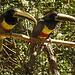 20170527 1718CPw [D~LIP] Braunohrarassari (Pteroglossus castanotis) [Schwarzkehlarassari], Vogelpark Detmold-Heiligenkirchen