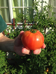 First tomato of the season
