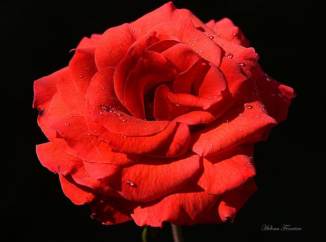 ✿»«✿»«✿ Red Rose.