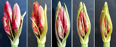 Amaryllis flowers. Part 1. ©UdoSm