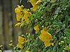 Flowering St John's Wort.