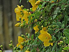 Flowering St John's Wort.