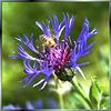 Berg-Flockenblume (Cyanus montanus)  ©UdoSm