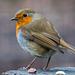 Robin14
