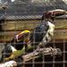 20170527 1722CPw [D~LIP] Braunohrarassari (Pteroglossus castanotis) [Schwarzkehlarassari], Vogelpark Detmold-Heiligenkirchen