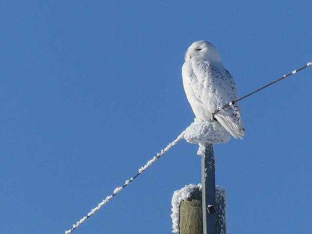 One of my few Snowy Owls of 2016