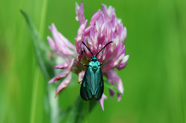 Forester moth on a clover