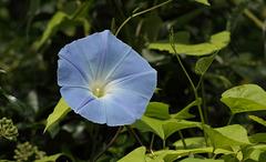 Morning glory (Heavenly blue) flower