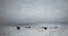 the winter pasture....