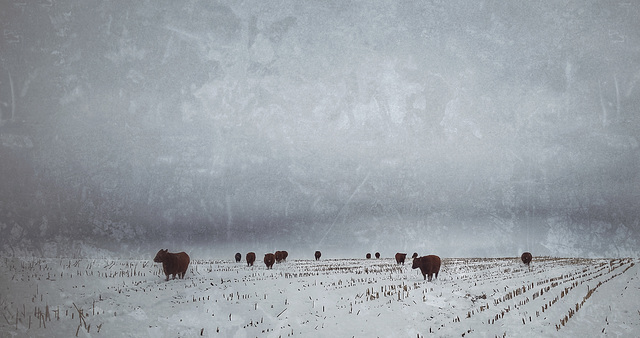 the winter pasture....