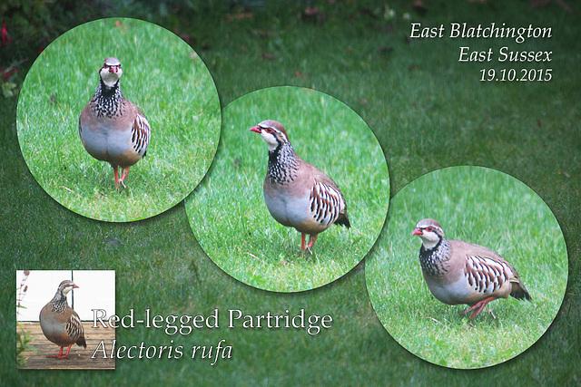 Red-legged Partridge - East Blatchington - 19.10.2015