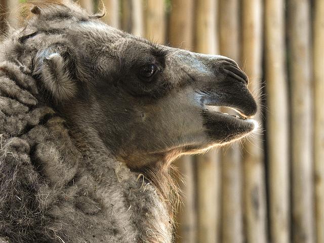 20170615 1954CPw [D~MS] Trampeltier, Zoo Münster