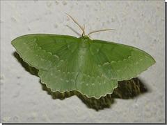 Geometra papilionaria mâle.