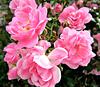 Flowering Roses.