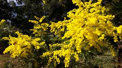 La bella Mimosa per l'8 Marzo