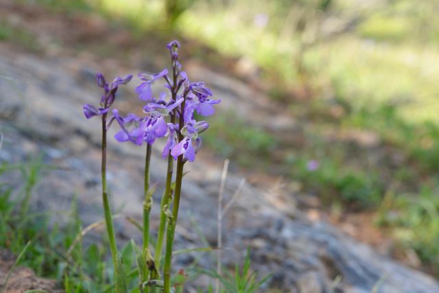 Orchis morio, erva-do-salepo, fatua, testículo-de-cão