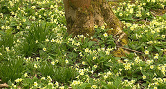 Small part of the bed of primroses. Rising Sun Country Park, N.Tyneside