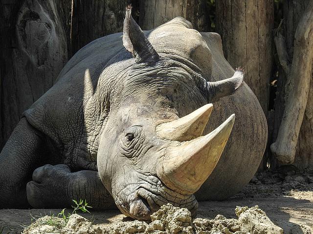 20170615 1959CPw [D~MS] Breitmaulnashorn, Zoo Münster