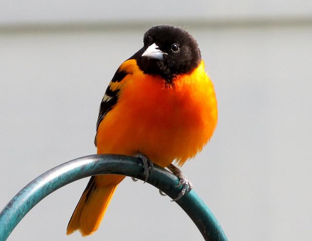 Baltimore Oriole, male