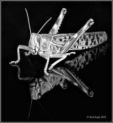 Locust