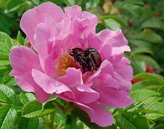 scarabée japonais