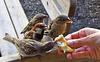 Feeding some house sparrows having lost their shyness towards tourists. Comune di Ortisei, Val Gardena, South Tyrol, Italy.