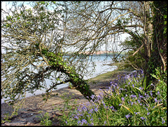 bluebells by the Tamar