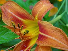 Halictid Bee (Agapostemon texanus)