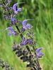 Sauge des prés = Salvia pratensis, Malvacées (Rhône, France) - 2