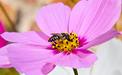 IMG 6040 Black bee ?