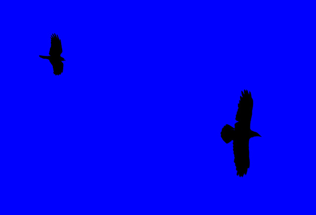 Crow Chasing Raven