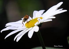 Daisy ⌥-✽ 2
