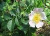 Rosier des champs = églantier des champs = Rosa arvensis, Rosacées (Rhône, France)