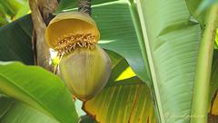 Fleur de bananier - Banana flower