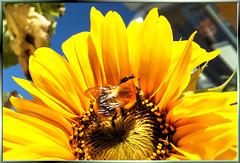 Funny bumblebee... ©UdoSm
