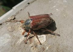 Hanneton commun = Melotontha melotontha, Scarabée (Rhône, France)
