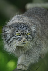 Chat sauvage Manul Pallas       (EXPLORE)