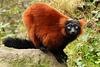 Red ruffed Lemur  101 cop
