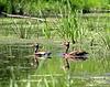 dendrocygne à ventre noir / black-bellied whistling-duck