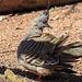20170527 1733CPw [D~LIP] Schopftaube (Ocyphapy lophotes), Vogelpark Detmold-Heiligenkirchen