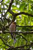 Buchfink von unten (Wilhelma)