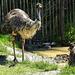 20170527 1734CPw [D~LIP] Emu, Vogelpark Detmold-Heiligenkirchen