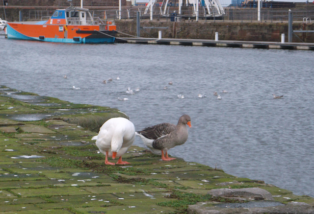 oaw - whitehaven geese