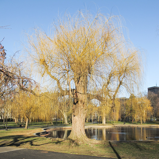 Sighing at a fine view of a weeping willow in the Boston Public Garden.