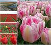 Nederland - Julianadorp (flowers for Ipernity !!!)