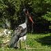 20170527 1735CPw [D~LIP] Sattelstorch (Ephippiorhynchus senegalensis), Marabu (Leptoptilos crumeniferus), Heiliger Ibis (Syrmaticus aethiopicus), Vogelpark Detmold-Heiligenkirchen