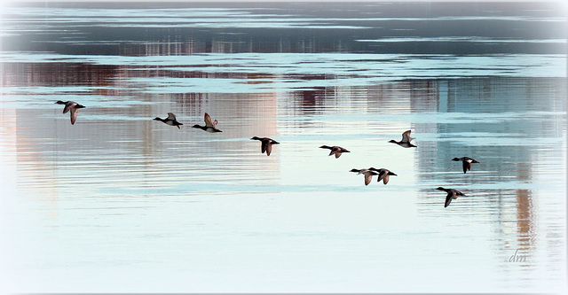 Mergansers over St. Clair River