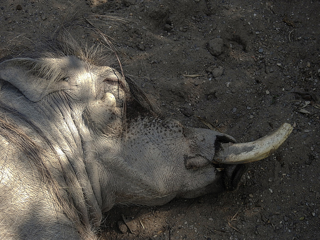 20170615 1973CPw [D~MS] Warzenschwein, Zoo Münster
