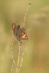 Meadow Brown ~ Bruin zandoogje (Maniola jurtina), female ♀...
