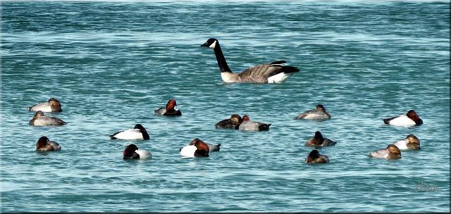 Redhead ducks & Canada goose